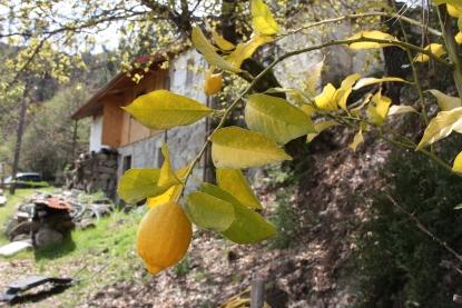 Eerste citroenen..